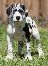 What Are Great Danes Bred For Full Euorpean Great Da...